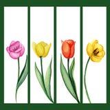 Banderas de los tulipanes fijadas Imagenes de archivo