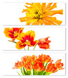 Banderas horizontales con los tulipanes y las flores del zinnia Fotos de archivo