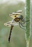 Banderki żeński Halloweenowy dragonfly Obraz Royalty Free
