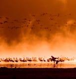 Bandes de flamants dans le lever de soleil Images stock