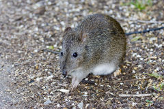 Bandicoot, Looking For Food Royalty Free Stock Photo