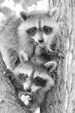 Bandidos pequenos Fotografia de Stock Royalty Free