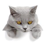 Bandiera arrabbiata del gatto Fotografie Stock Libere da Diritti