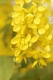 Bandiera dei fiori Background Acquazzone dorato, fistola della cassia Immagini Stock
