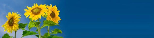 Bandiera del girasole Fotografie Stock