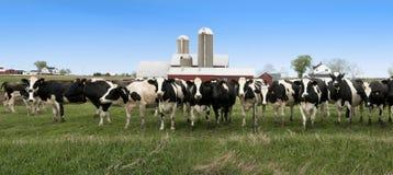 Bandiera panoramica di panorama delle mucche da latte del Wisconsin Fotografie Stock Libere da Diritti