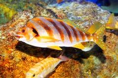 Bandiera-pesce Fotografia Stock Libera da Diritti