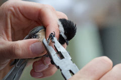 Banding a Chickadee. This black capped chickadee is being equipped with a band by a scientist Royalty Free Stock Image