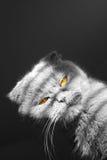 Bandit cat. Black and white photo of scottish-fold with orange eyes Royalty Free Stock Image