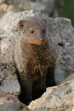 Bandit mongoose Stock Photography