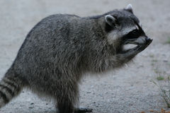 Bandit raccoon. Raccoon looks like it is laughing or eating. Bandit eyes with mask royalty free stock photo