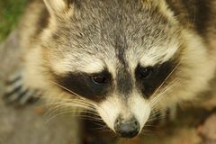 Closeup portrait of raccon, wild animal in North America and Europe. The `bandit´s mask`, ringed tail and dexterous front paws characterize raccoons Stock Photography
