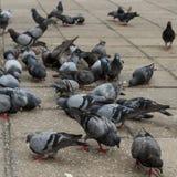 Bando de pássaros do pombo foto de stock
