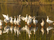 Bando no lago congelado Imagem de Stock Royalty Free