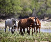 Three wild horses approach the camera. Bands of wild horses live in the Tonto National forest near Mesa, Arizona, USA royalty free stock photography