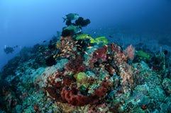 Bandsweetlips, många prickiga sweetlips, anthias simmar i Gili, Lombok, Nusa Tenggara Barat, Indonesien det undervattens- fotoet royaltyfria bilder