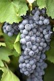 bandy 2 winogron zdjęcia royalty free