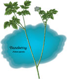 Baneberry Photo stock