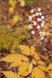 Baneberry Rises Above Autumn Woodland Floor. In the loamy moist soils of the autumn forest, the white berries of a baneberry plant rise above its serrated golden stock images