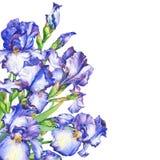 Baner med den blåa och violetta irins för blomning royaltyfri illustrationer
