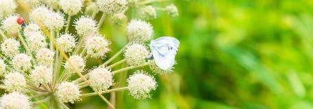 Baner med en nyckelpiga och en fjäril på en vit lös blomma i en äng - makro royaltyfri foto