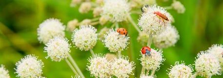 baner med nyckelpigor och fel på vita vildblommor Sommaräng med blommor och kryp - makro fotografering för bildbyråer