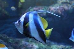 Banerfisk Arkivbild