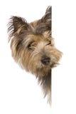 banerhund royaltyfri fotografi