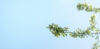 Banervårbakgrund med den vita blomningen och gröna trädsidor royaltyfri foto