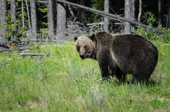 Banff bear. A grizzly bear walks through the forest in Banff national park, Canada Royalty Free Stock Photography