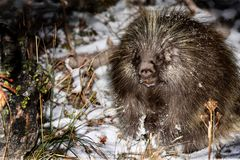 Porcupine in wilderness. Nocturnal animal hiding in winter forest. Banff National Park near Lake Louise in Canadian Rockies. Plain of Six Glaciers trail stock images