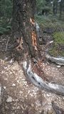 Banff tunnel mountain tree wood pecker holes. Tunnel mountain first snow scramble tree with wood pecker holes Stock Photo