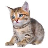 Bang gemaakt getijgerd katje stock foto's