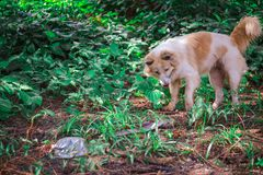 The Bang Kaew dog is looking at a snake in a wilderness. stock photo