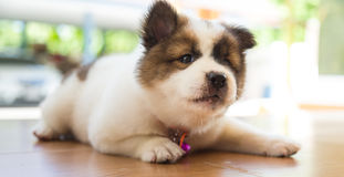 Bang Kaew puppy. Is cute stock photos