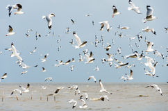 Bang Poo, Thailand : A Flock of Seagulls flying. Stock Photography
