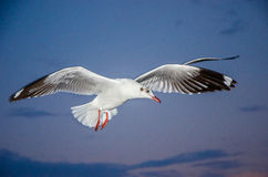 Bang Poo, Thailand : Seagull flying. Royalty Free Stock Photos