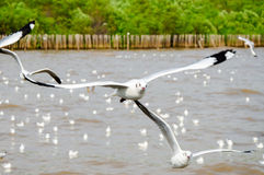 Bang Poo, Thailand : Seagull flying. Royalty Free Stock Photography