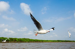 Bang Poo, Thailand : Seagull flying. Royalty Free Stock Image