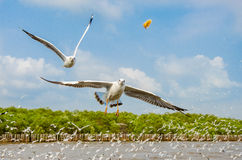 Bang Poo, Thailand : Seagull flying. Stock Photo