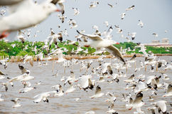 Bang Poo, Thailand : Swarm of Seagull flying. Royalty Free Stock Images
