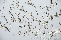 Bang Poo, Thailand : Swarm of Seagull flying. Royalty Free Stock Photography