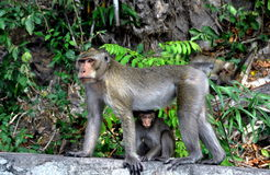 Bang Saen, Thailand: Mother monkey and baby royalty free stock photography