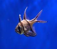 Bangaii Kardinal-Fische Lizenzfreies Stockfoto