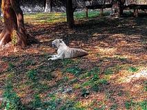 Bangal bielu tygrys fotografia royalty free