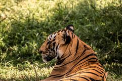Indian Bengal tiger royalty free stock photography