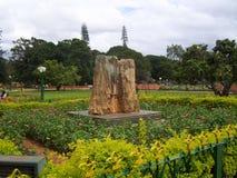 Bangalore, il Karnataka, India - 11 agosto 2008 20 milione anni del fossile dell'albero della conifera petrificata Fotografia Stock Libera da Diritti