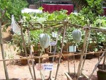 Bangalore, Karnataka, la India - 11 de agosto de 2008 cultivo orgánico de la calabaza en el jardín botánico de Lalbagh imágenes de archivo libres de regalías