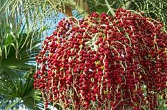 Bangalow palm seeds Stock Photo
