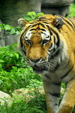 Bangel Tiger paces forward Royalty Free Stock Photos